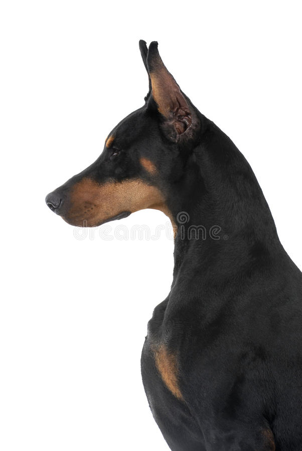 Download Pinscher Do Doberman Do Animal De Estimação Do Cão Foto de Stock - Imagem de canine, cauda: 10054830