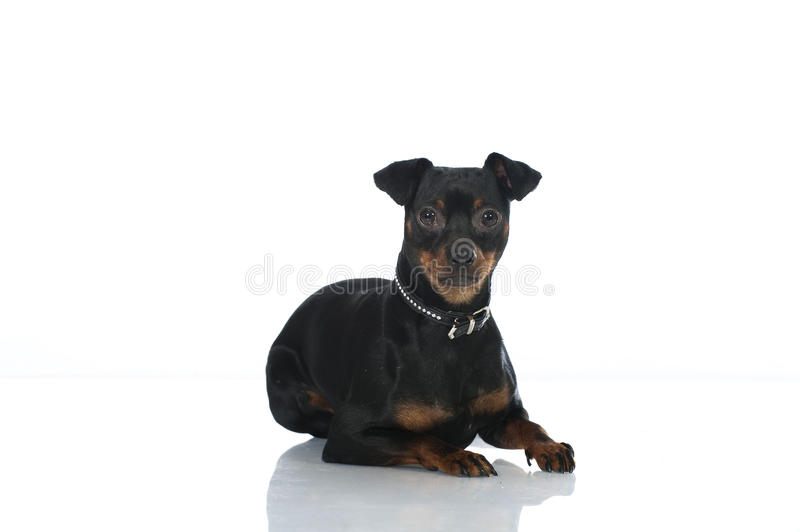 Pinscher dog. Isolated on white background royalty free stock image