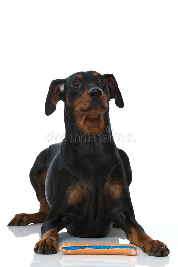 Pinscher dog on white background. Adult german pinscher dog lying on white background and waiting for a poisoned sausage stock images
