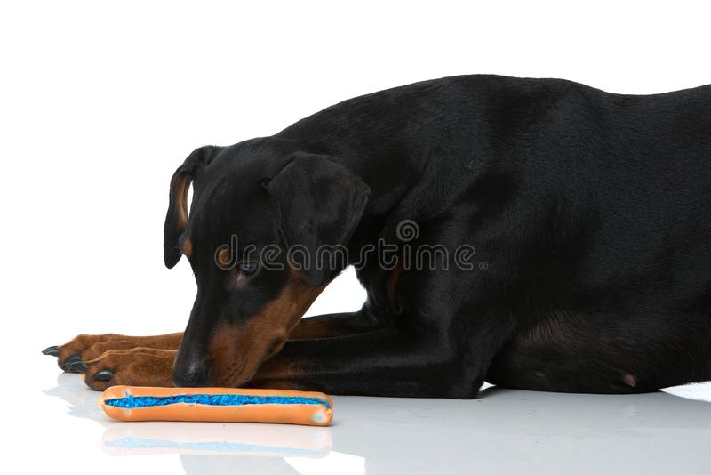Pinscher dog on white background. Adult german pinscher dog lying on white background and waiting for a poisoned sausage royalty free stock image
