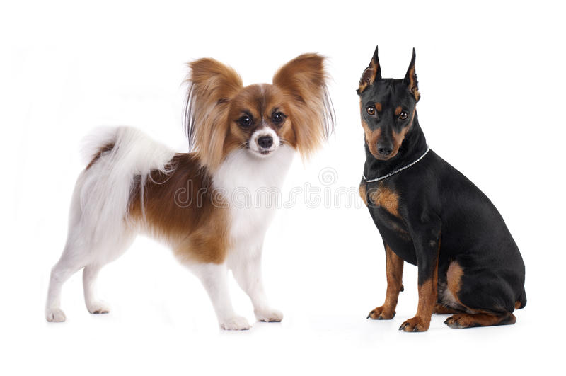 Pinscher e Papillon, cães fotos de stock royalty free