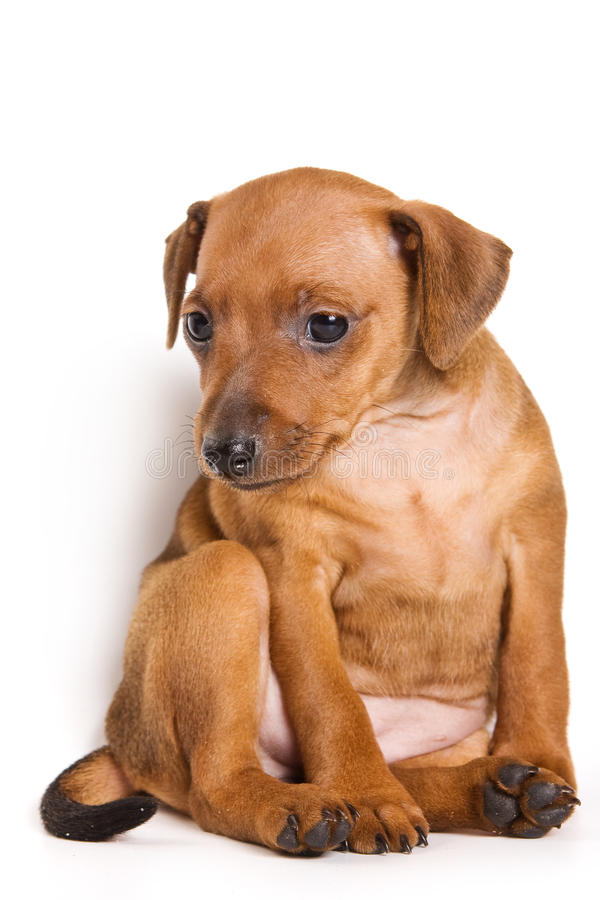 Download Pinscher puppy stock photo. Image of background, breed - 14010636