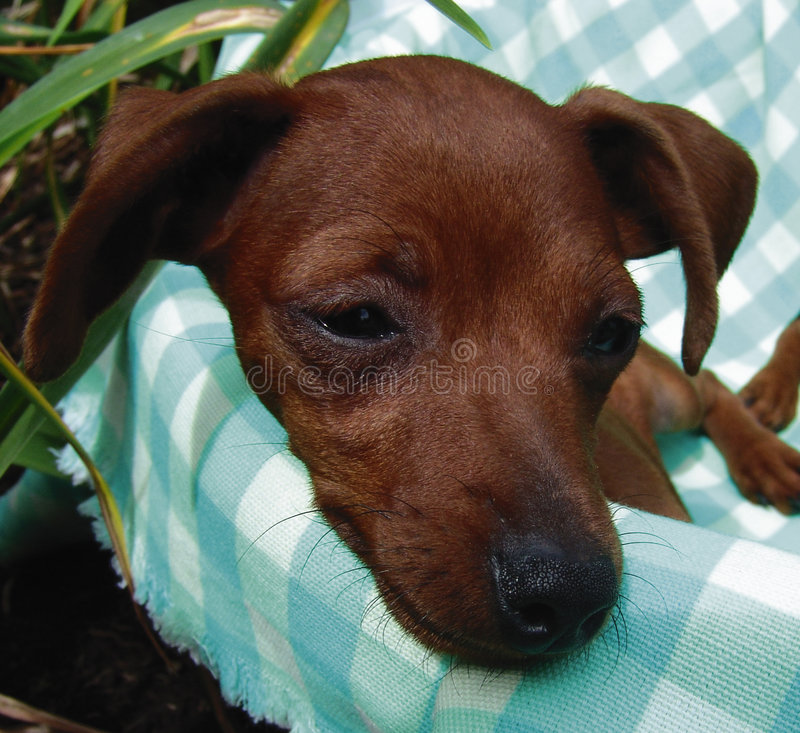 Download Pinscher puppy closeup stock photo. Image of sleeping, miniature - 951970