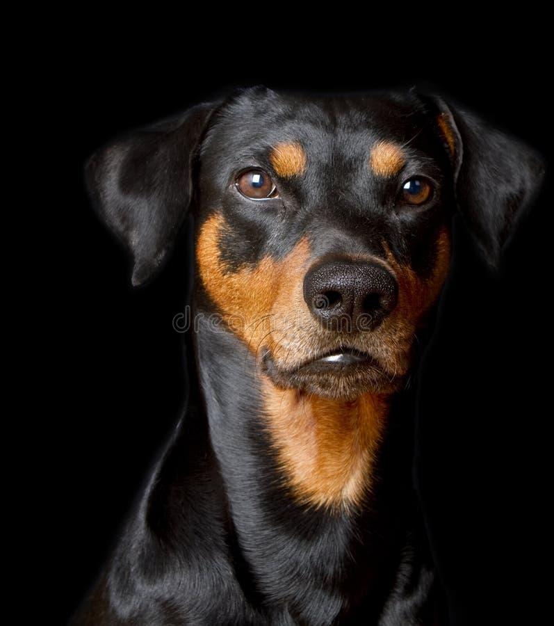 Pinscher tedesco di razza immagine stock immagine di for Pinscher nero