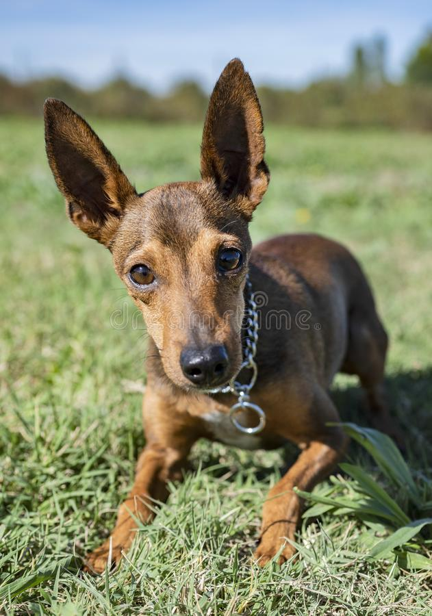 Pinsher in obedience. Brown pinsher in a training of obedience stock photography