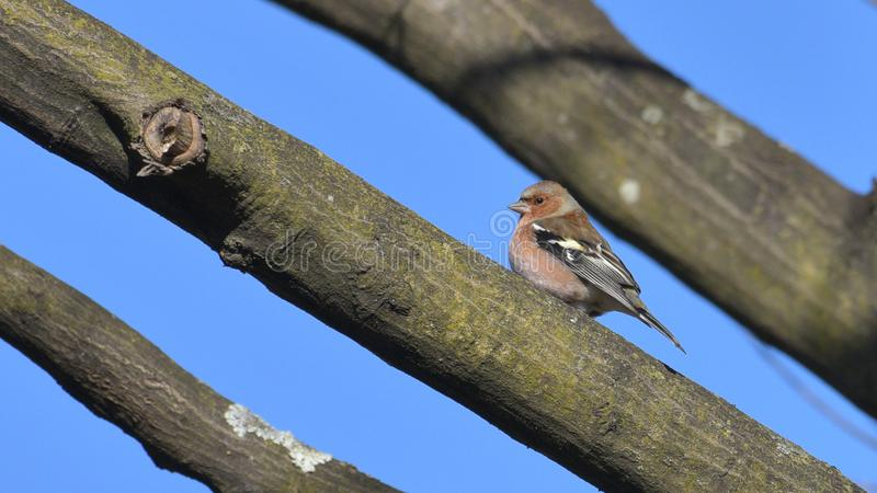 Pinson étendu sur la branche dans les bois, avec le ciel bleu image libre de droits