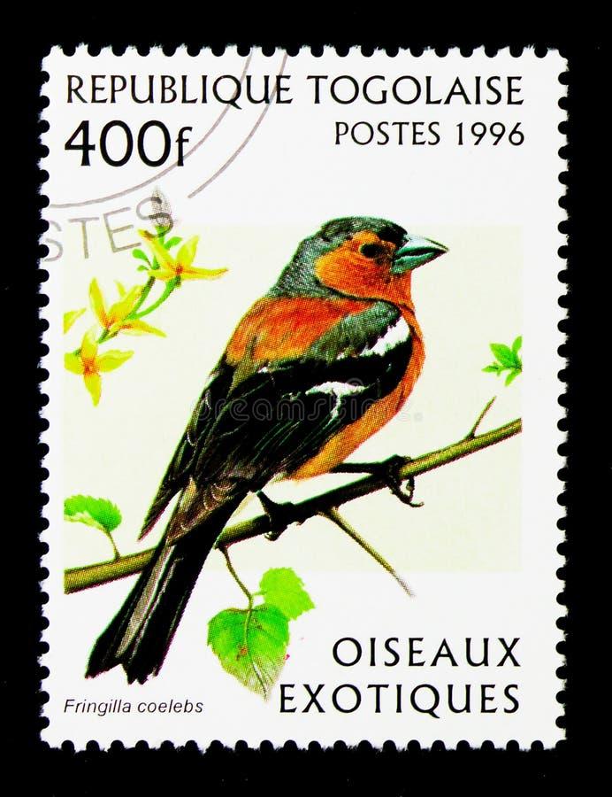 Pinson commun (coelebs de Fringilla), serie exotique d'oiseaux, vers photo stock
