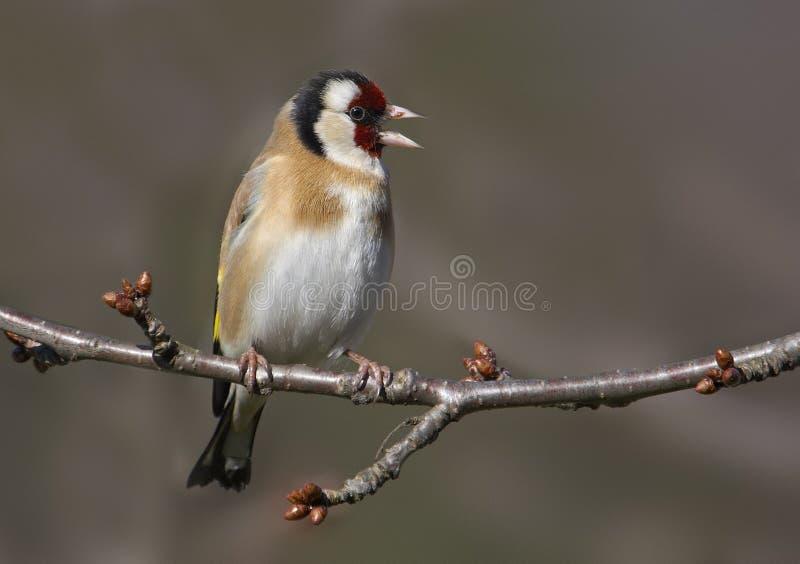 Download Pinson d'or photo stock. Image du zoologie, oiseau, goldfinch - 2137372