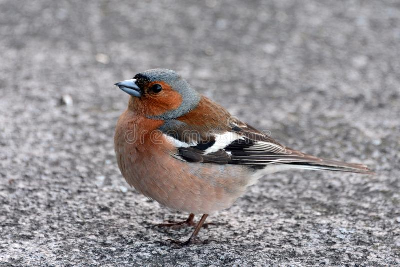 Pinson d'oiseau étroit vous regardant photos stock