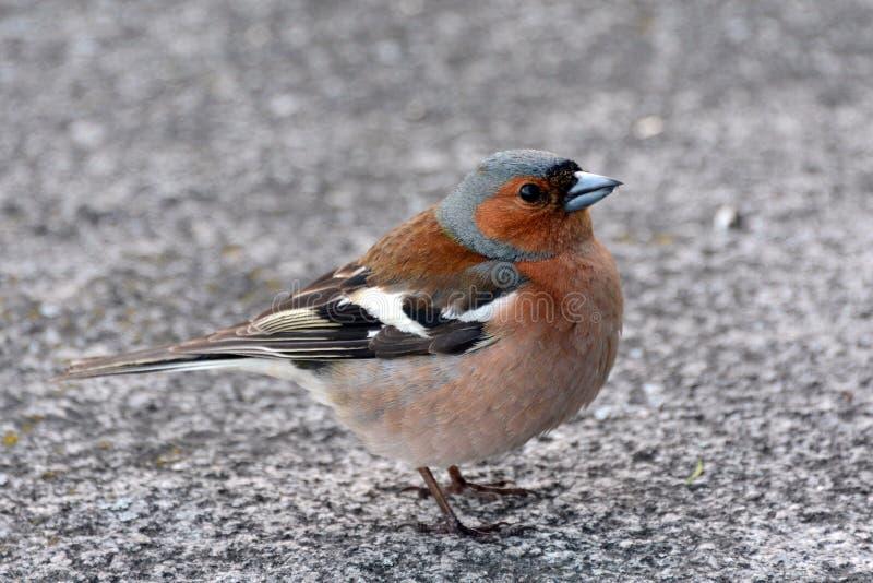 Pinson d'oiseau étroit vous regardant image libre de droits
