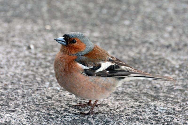 Pinson d'oiseau étroit vous regardant photo libre de droits