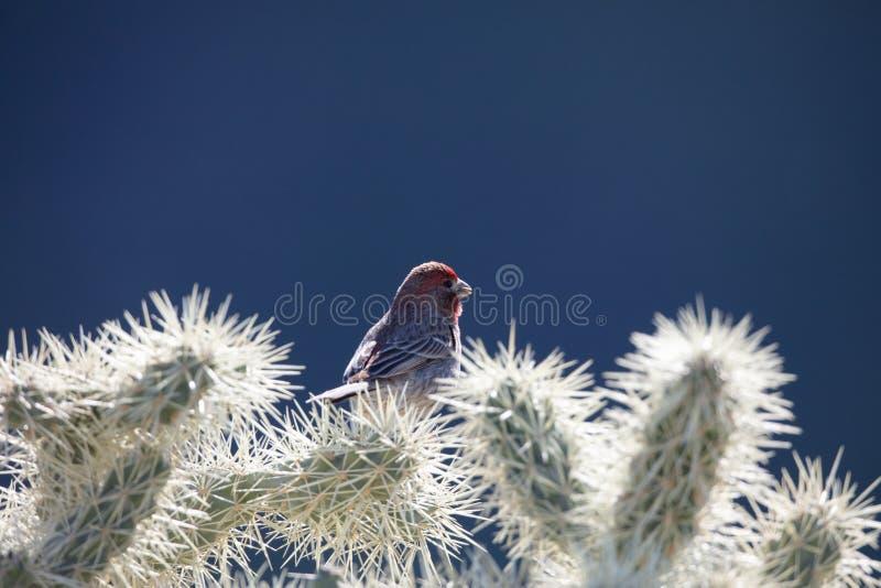 Pinson de Chambre de l'Arizona images libres de droits
