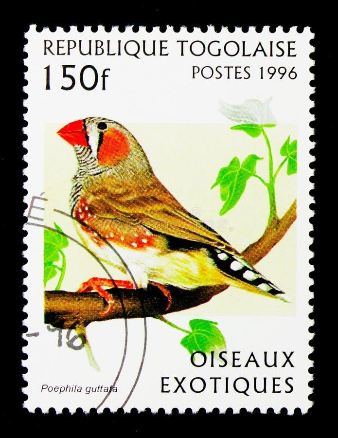 Pinson de zèbre (guttata de Poephila), serie exotique d'oiseaux, vers 1996 photo stock