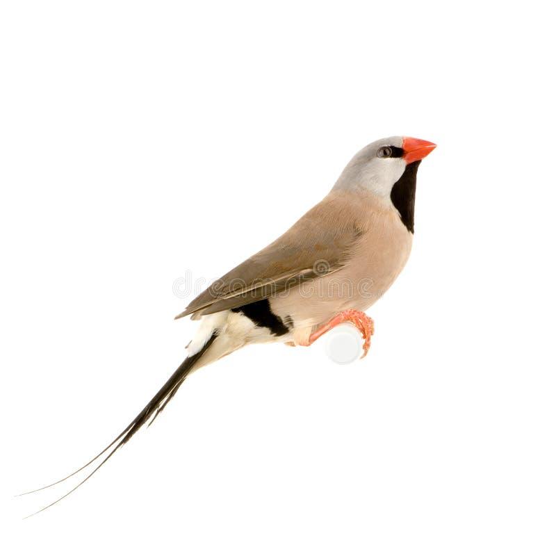 Pinson Long-tailed photos libres de droits