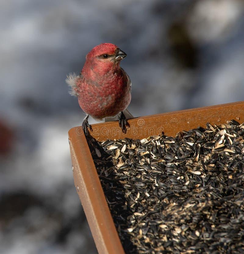 Pinson pourpre visitant une station d'affouragement hivernal dans l'algonquin photographie stock libre de droits