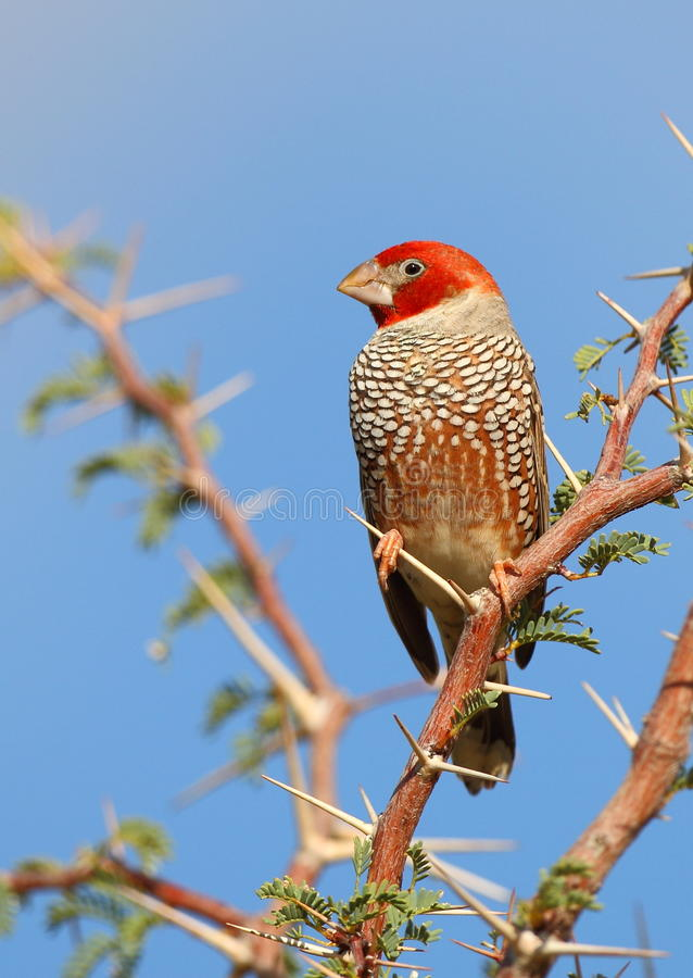 Pinson Red-headed photos stock
