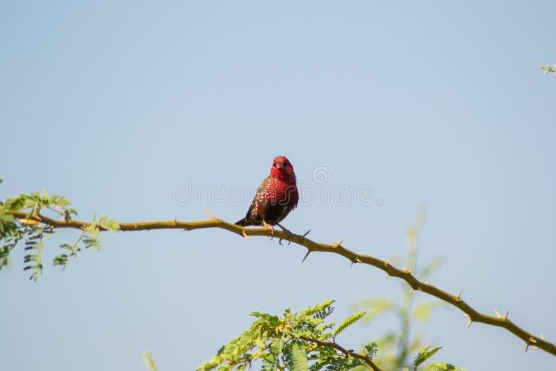 Pinson rouge d'Avadavat ou de fraise image libre de droits