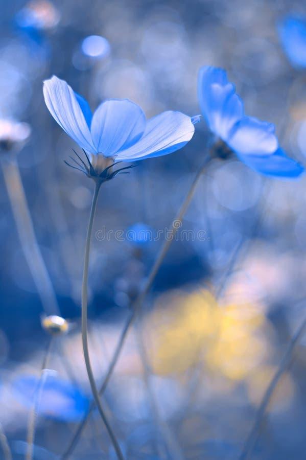 Pintado en flores azules Cosmos azul con un foco suave Una imagen artística hermosa fotos de archivo