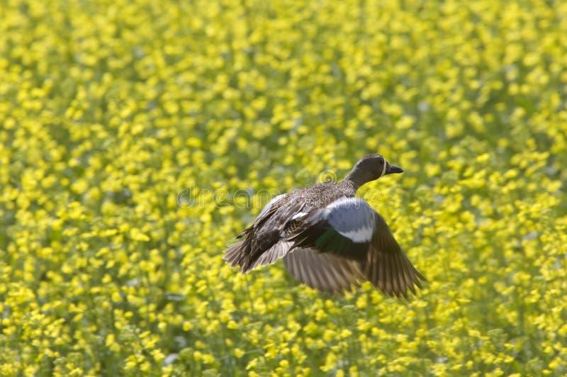 pintail полета утки стоковое изображение rf