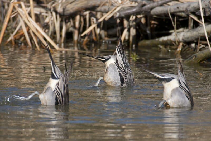 pintail утки северный стоковое фото