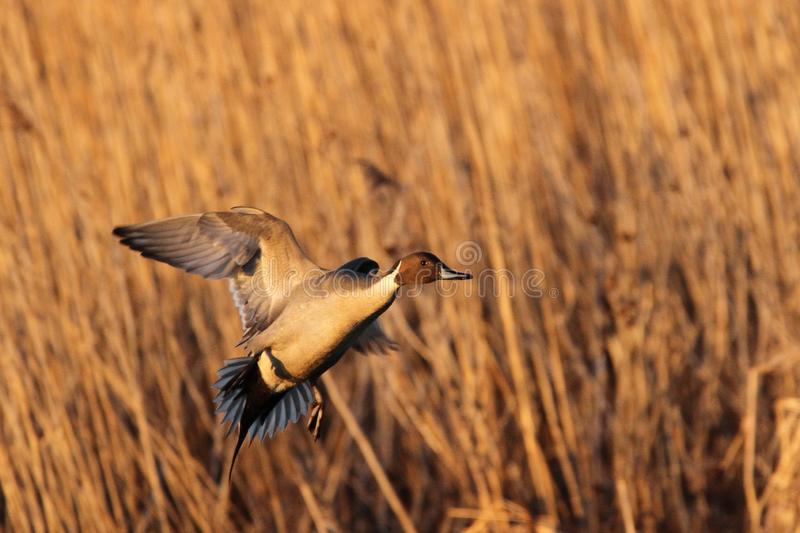 Pintail Drake Coming in for a Landing royalty free stock images