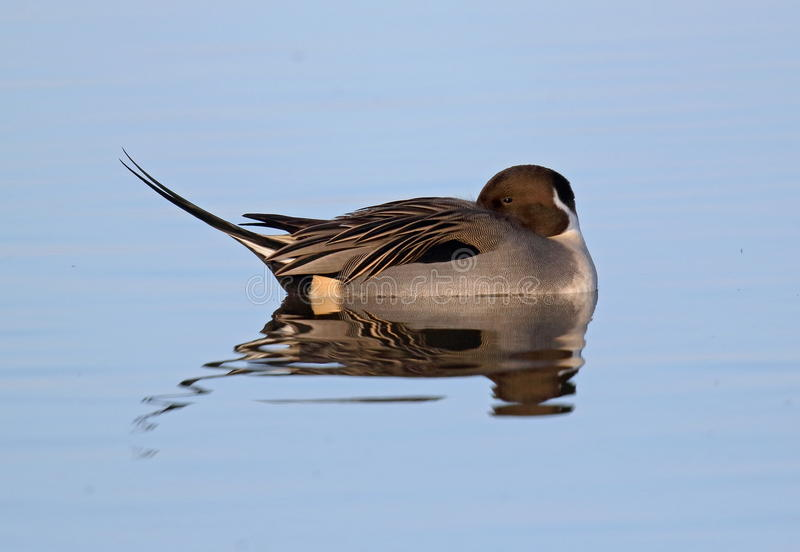 Pintail stock photos