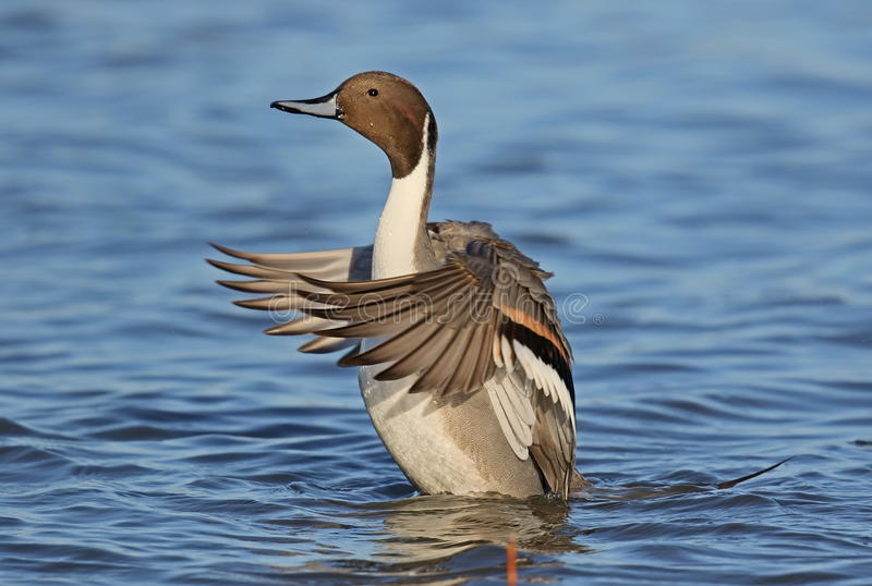 Pintail stock photography