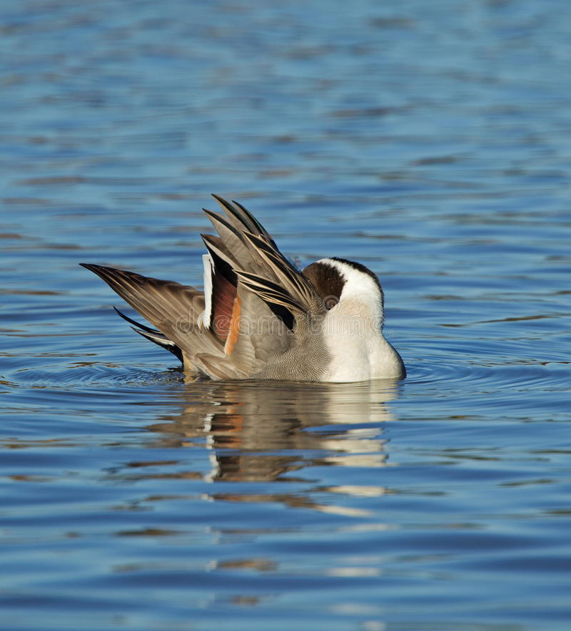 Pintail stock photo
