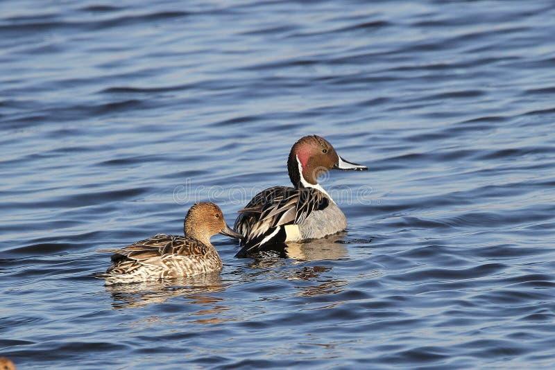Pintail Duck Pair stock photo