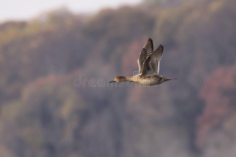 Pintail Hen in Flight royalty free stock photos