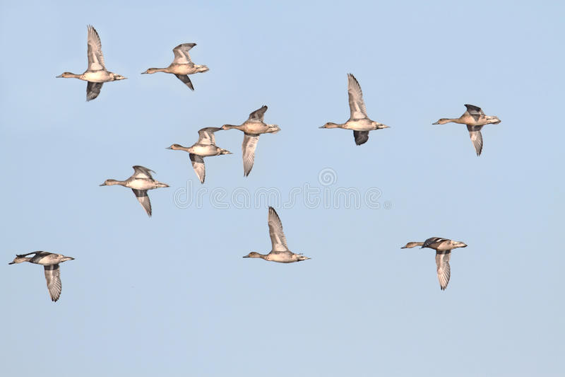 Pintails in Flight royalty free stock image