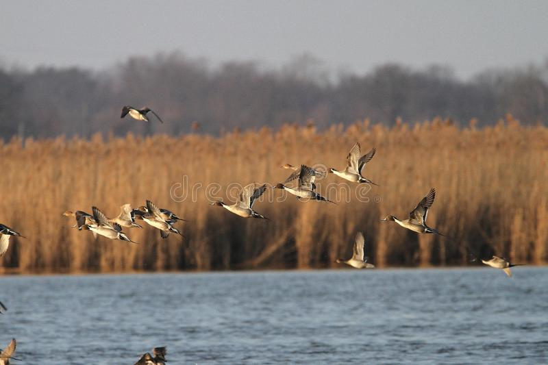 Pintails in Flight stock photos