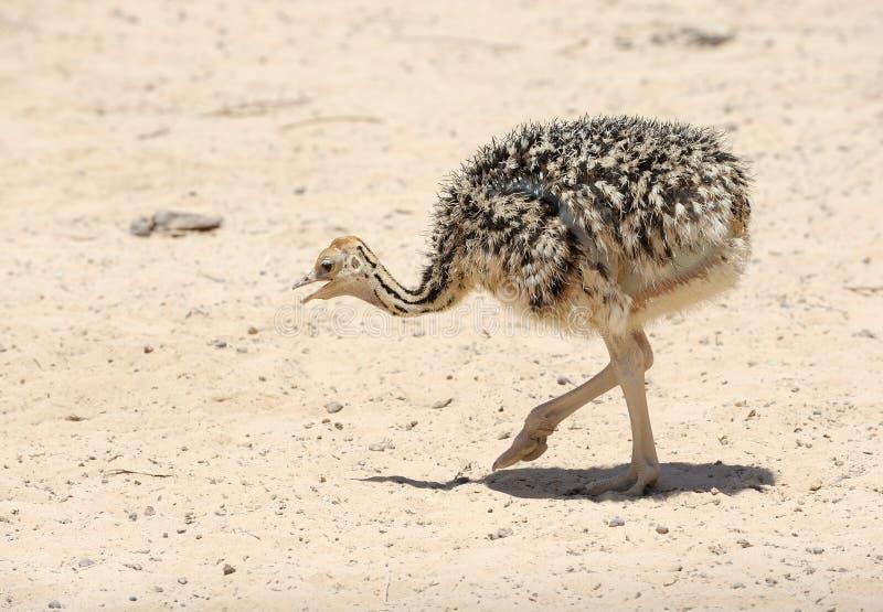 Pintainho africano da avestruz fotografia de stock