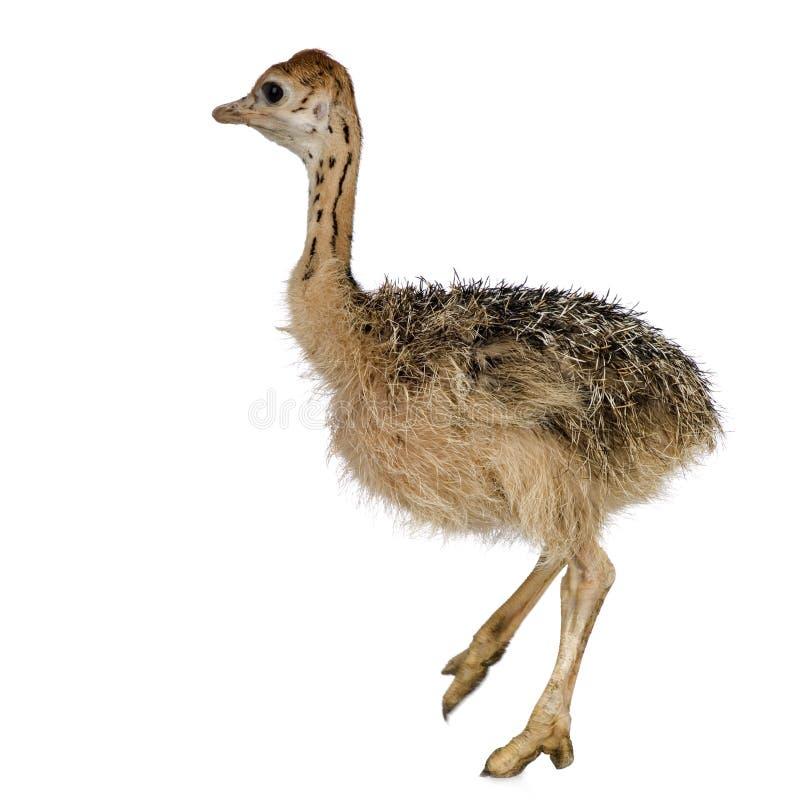 Pintainho da avestruz foto de stock royalty free