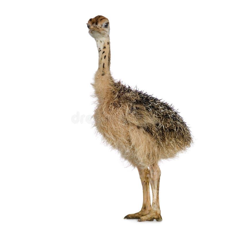 Pintainho da avestruz imagens de stock