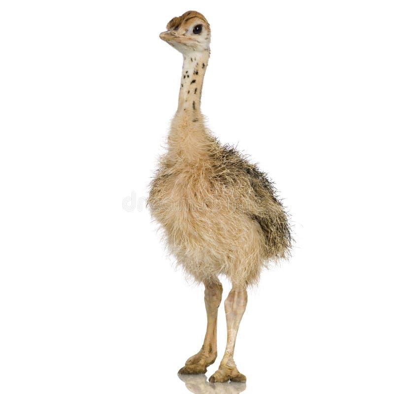 Pintainho da avestruz foto de stock