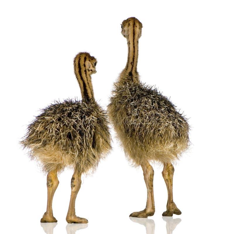Pintainho da avestruz imagem de stock