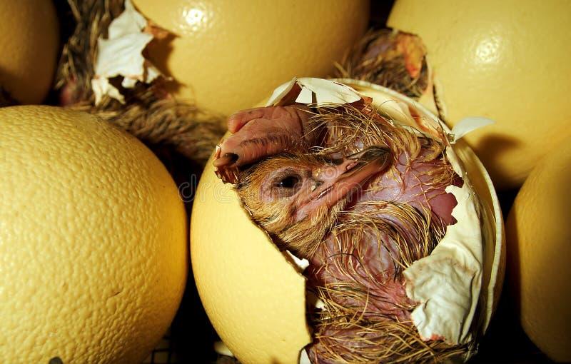Pintainho da avestruz que sai do ovo foto de stock