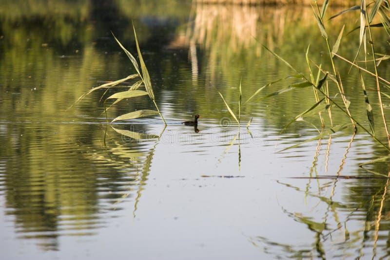 Pintainho da galinha-d'água, pato selvagem com nadadas vermelhas de um chloorpus do Gallinula do bico na lagoa no selvagem ucr?ni foto de stock royalty free