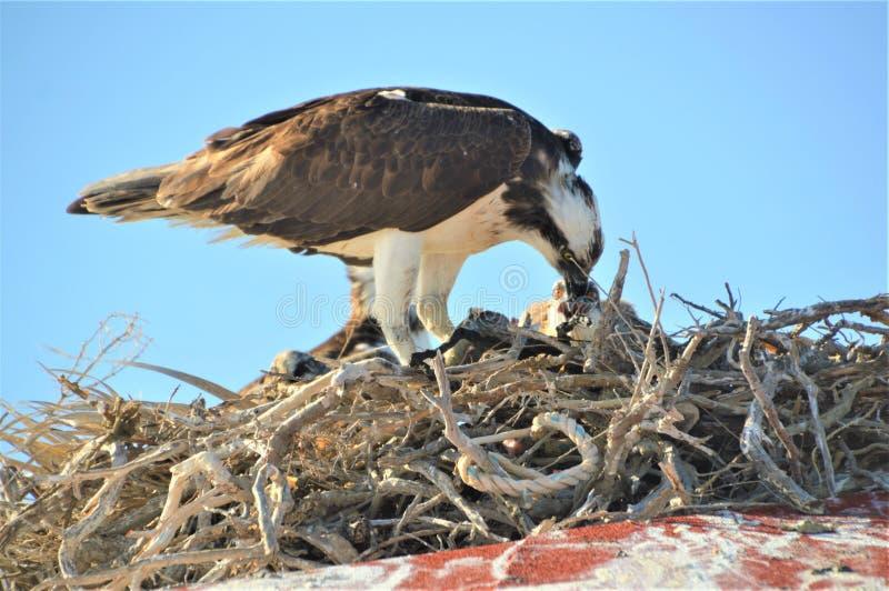 Pintainho de alimentação da águia pescadora, negro de Guerrero, Baja California imagem de stock royalty free