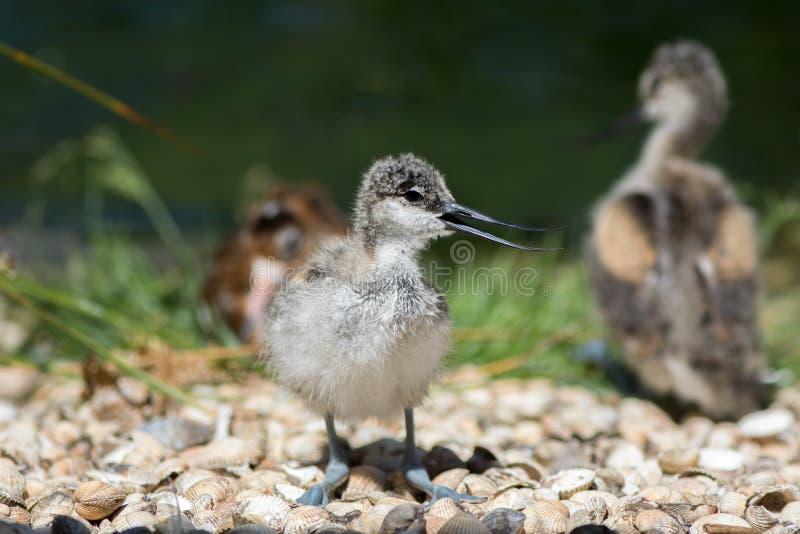 Pintainho do Avocet Imagem bonita da natureza de um pássaro de bebê bonito do nenhum foto de stock