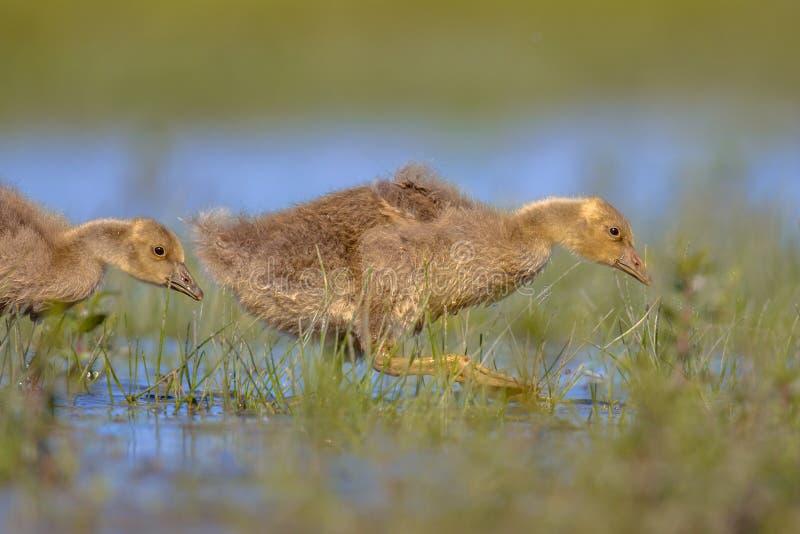 Pintainho do ganso de pato bravo europeu que corre através da água imagem de stock