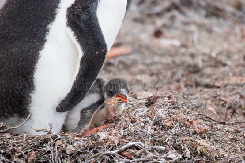 Pintainho do pinguim de Gentoo fotografia de stock