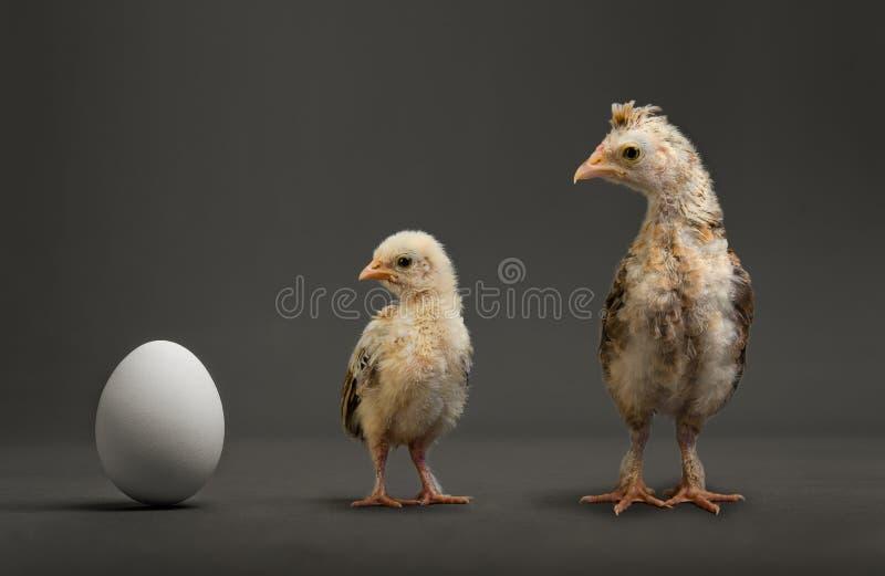 Pintainho e ovo imagem de stock