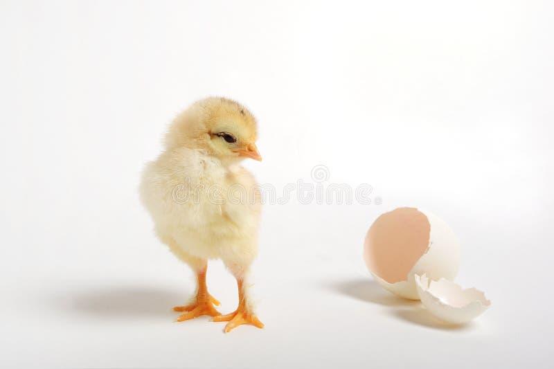 Pintainho e ovo rachado imagem de stock royalty free