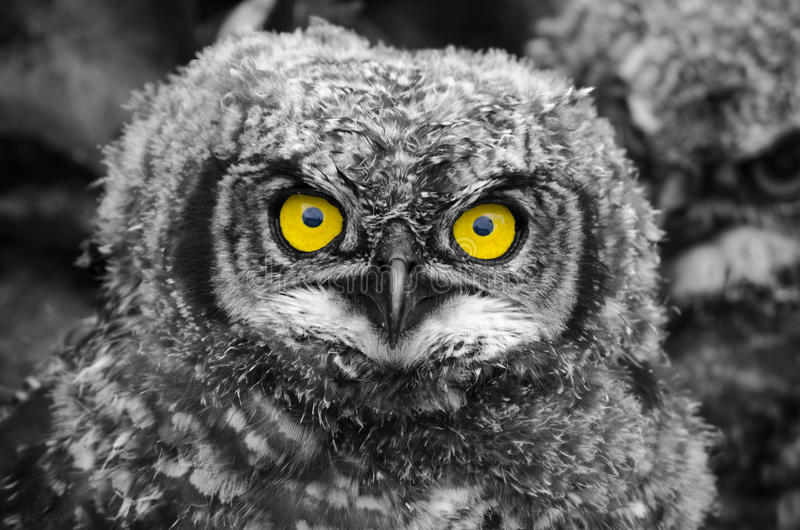 Pintainho manchado de Eagle Owl fotografia de stock royalty free