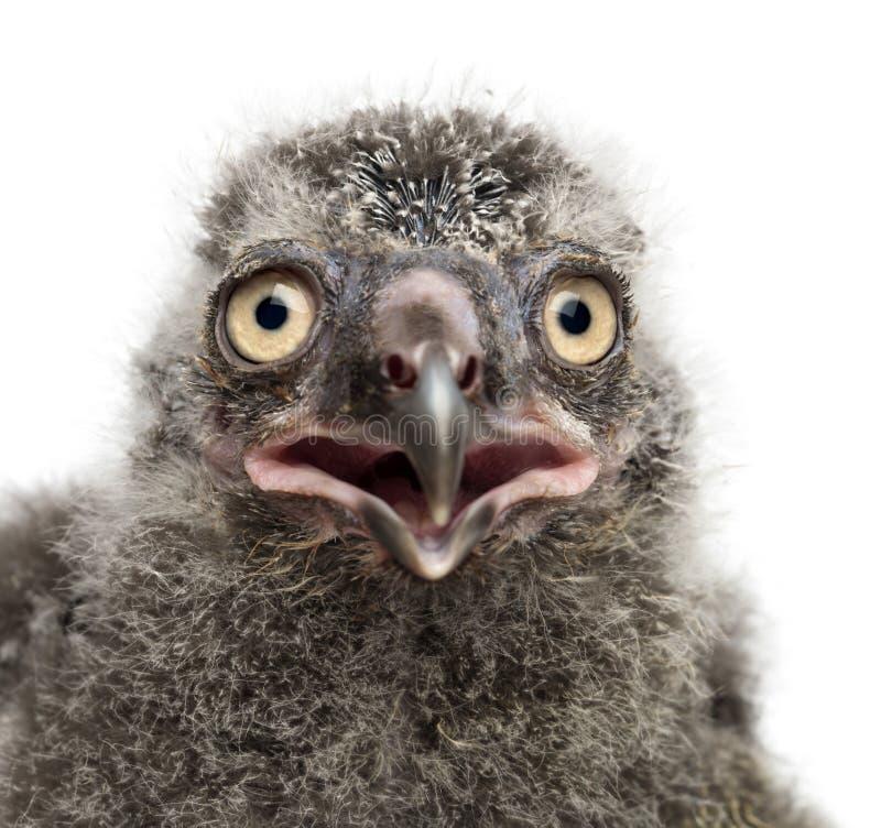 Pintainho nevado da coruja, scandiacus do bubão, 19 dias velho fotografia de stock