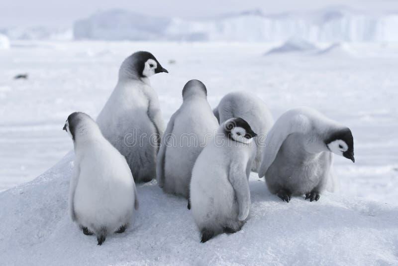 Pintainhos do pinguim de imperador imagem de stock royalty free