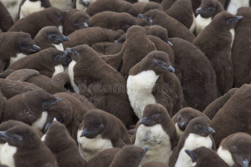 Pintainhos do pinguim de Rockhopper - Falkland Islands foto de stock royalty free