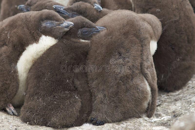 Pintainhos do pinguim de Rockhopper - Falkland Islands imagens de stock